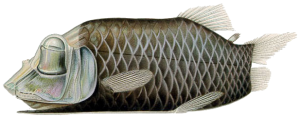 barreleye-fish